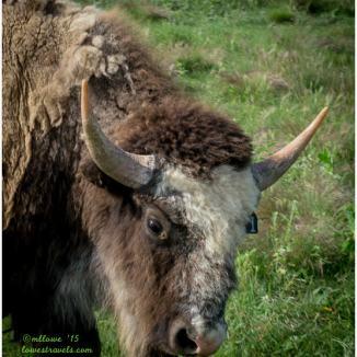 Yearling bull