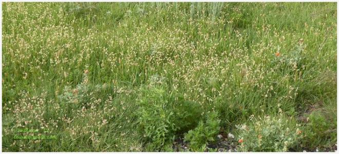 Buffalo Grass