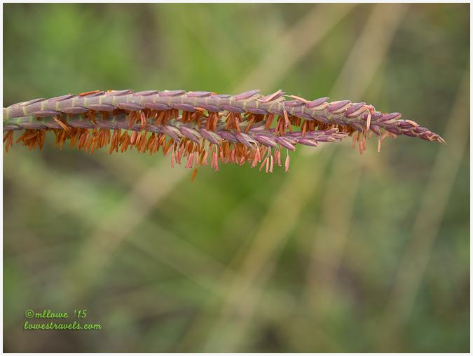 Eastern Gamma Grass