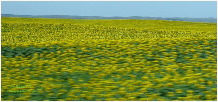 Sunflowers in North Dakota