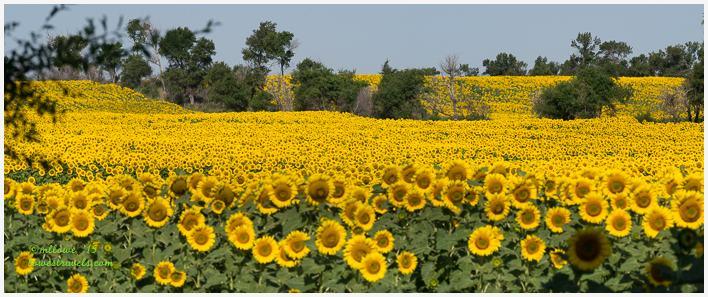 Sunflower Fields, North Dakota