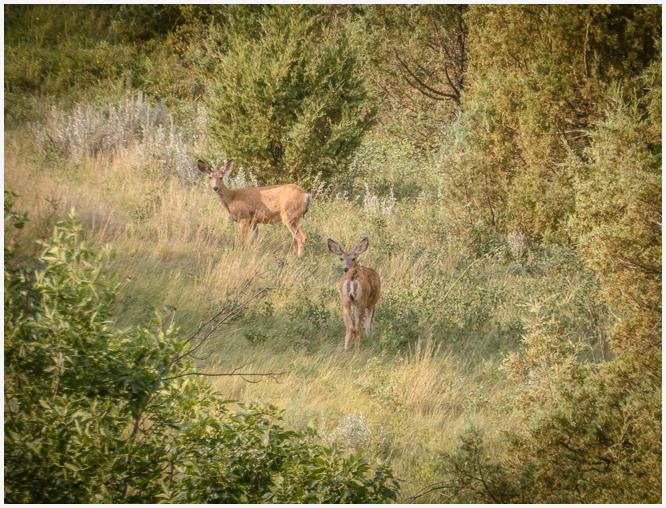 Deer at Theodore Roosevelt National Park