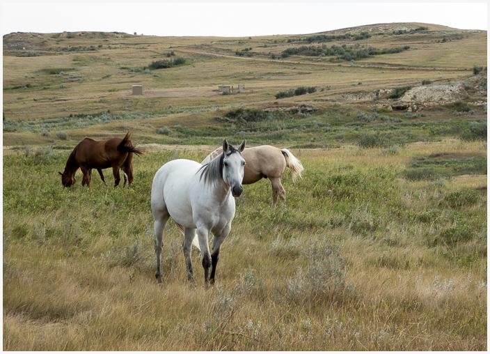 Feral horses, Theodore Roosevelt National Park