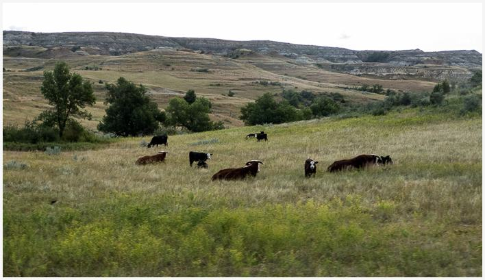 Cattle at Theodore Roosevelt National Park