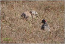 Prairie Dog with a Northern Flicker