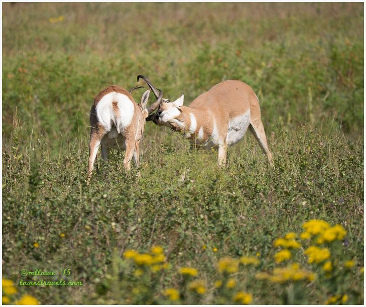 Pronghorns locking horns
