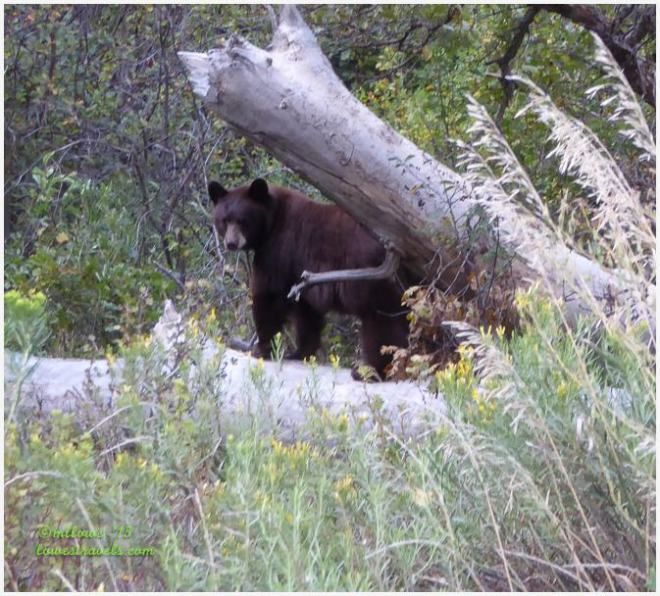 Colorado Bear
