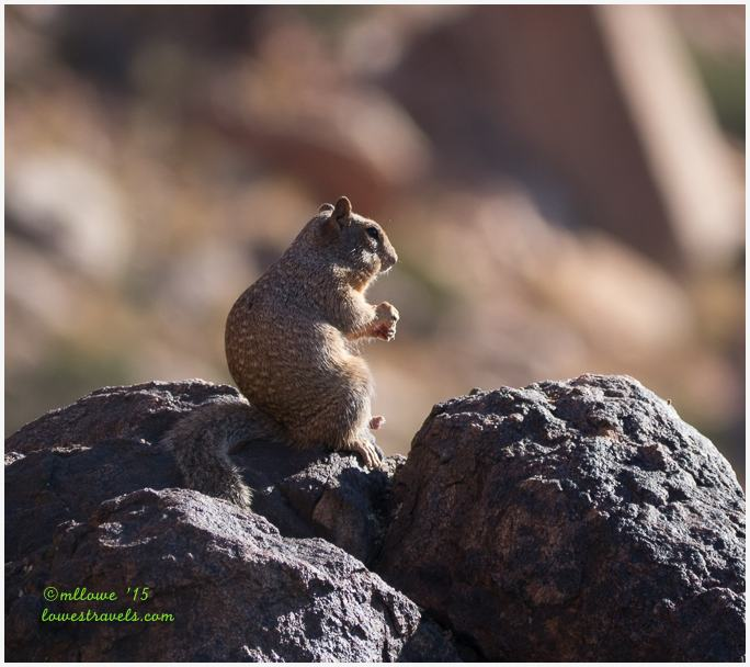 Spotted Squirrel