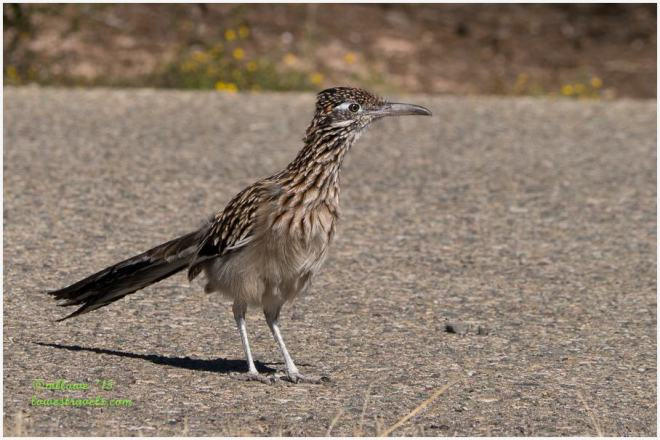 Great Road Runner