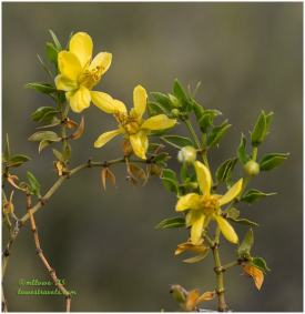 Creosote flower