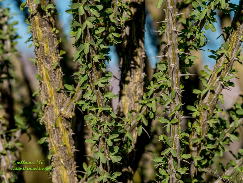 Ocotillo leaves