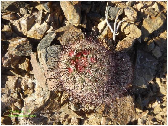 Lonesome Barrel Cactus