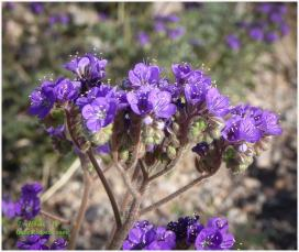 Notched -Leaved Phacelia