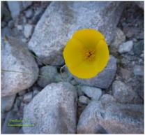Mohave Gold Poppy