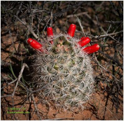 Fish hook Cactus