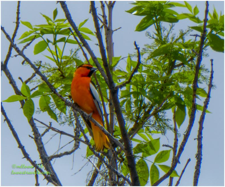 The red orange plumage of Bullocks Oriole caught Steve's attention.