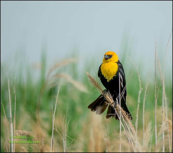 Yellow -Headed Blackbird