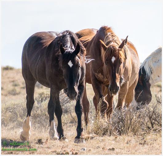 Wild Mustang