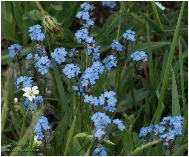 Alpine forget-me not