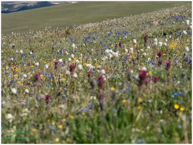 Wildflowers at Beartooth Highway
