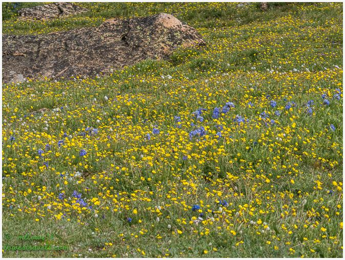 Wildflowers at Beartooth Highway