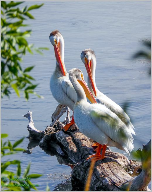 White Pelicans