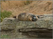 Lazy Marmot