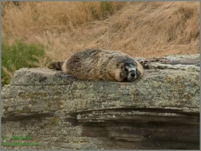Lazy Marmot