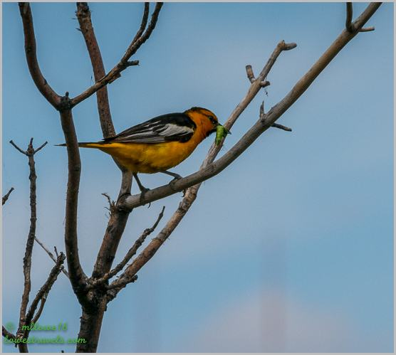 Bullocks Oriole