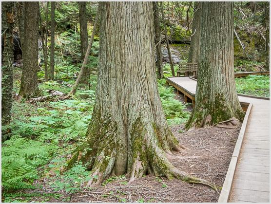 Trail of the Cedar