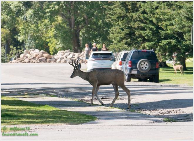 Buck around town
