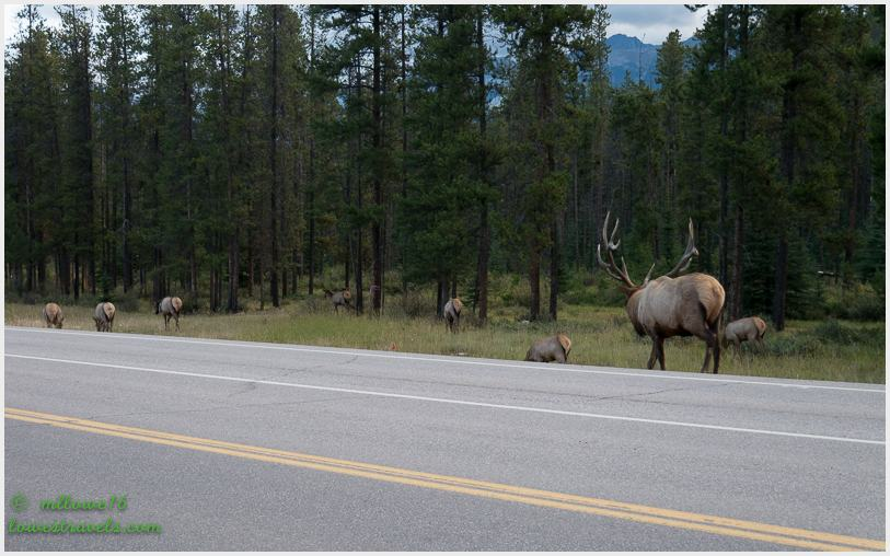 Bull Elk's harem, what a stud!