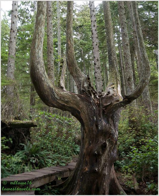 Candelabra tree