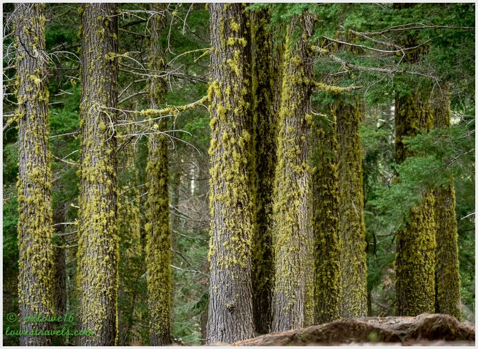 Pine trees covered by lichen