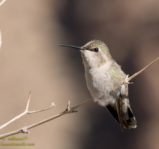 Hummingbird keeping a lookout