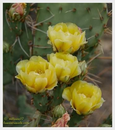 Paddle Prickly Pear
