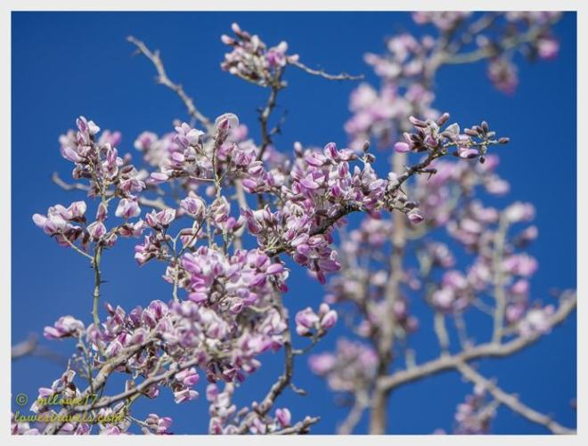 Iron wood tree flower