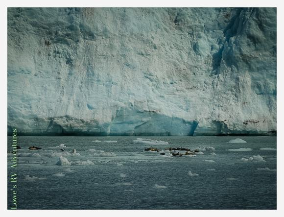 Female Harbor Seals resting on ice