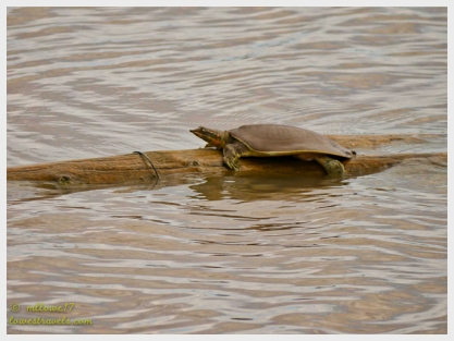 A lone turtle