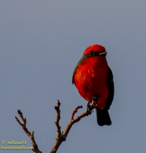 Vermilion Fly Catcher