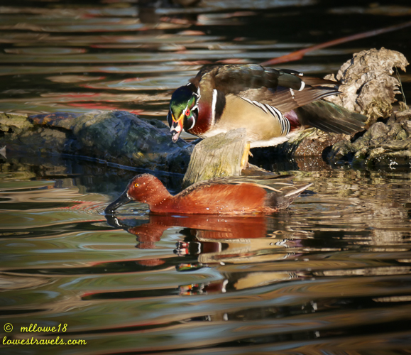 This is my turf, move over Cinnamon Teal, yelled the Woodduck