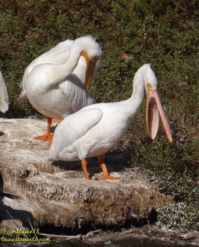 I think Im choking- White Pelican