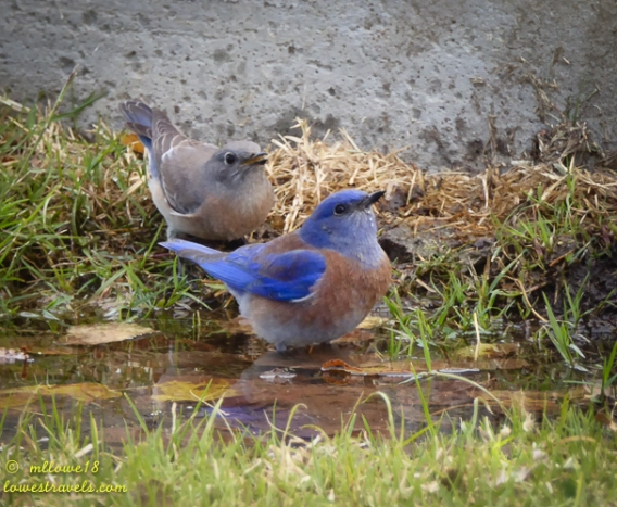 Bluebirds taking sips of water