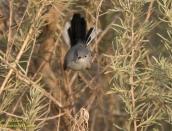 Blue -gray gnatcher