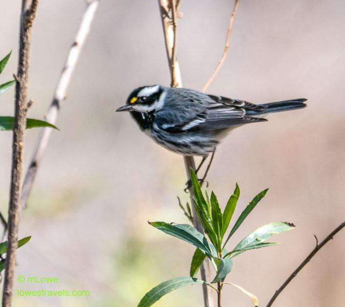 Black-throated Warbler