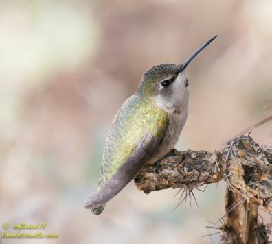Female Costas Hummer