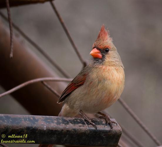 Female Northern Cardinal