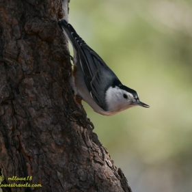 White- breasted Nuthatch