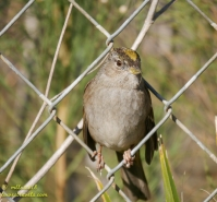 Golden Head Sparrow