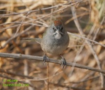 Green tailed Towhee